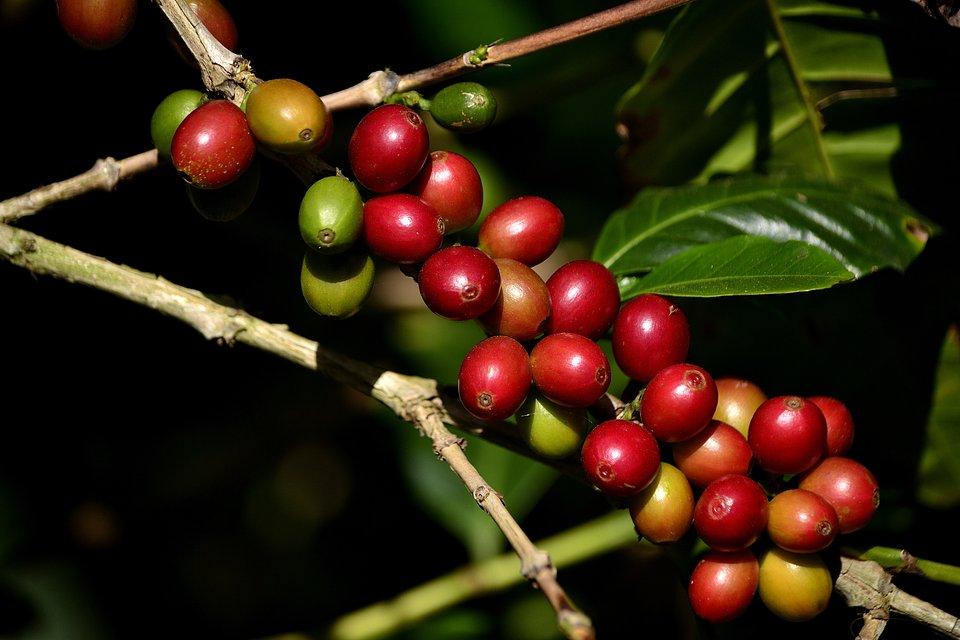 Owoce kawowca